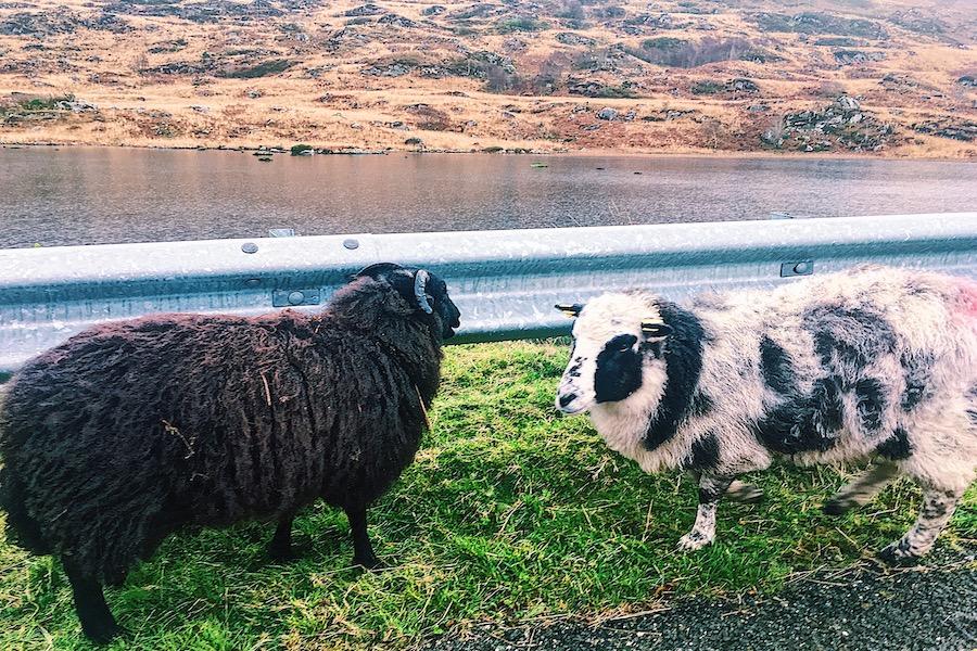 Moutons en bord de route